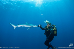 Blue Shark and Diver