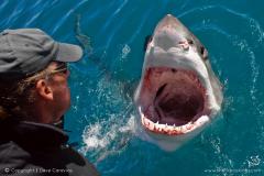 white-sharks-5