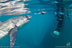 Great White Shark and Cage Divers