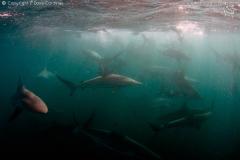 sardine-run-7