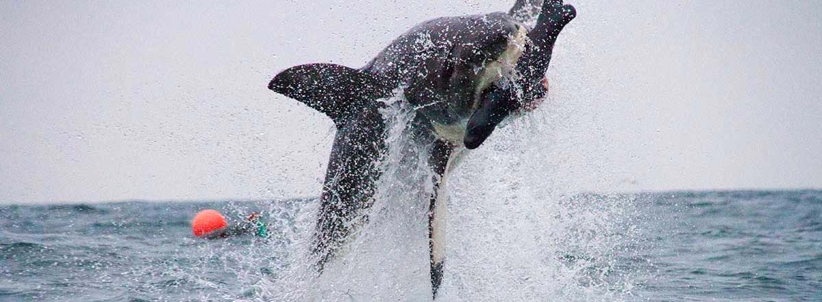Breaching Great White Shark