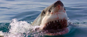 wild great white sharks