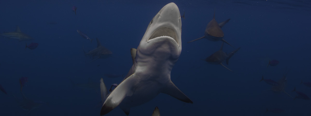 shark diving destinations