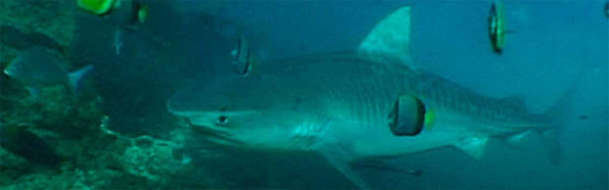 tiger shark aliwal shoal african watersports