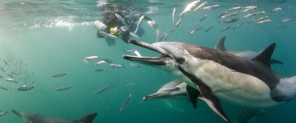 sardine run south africa dolphins