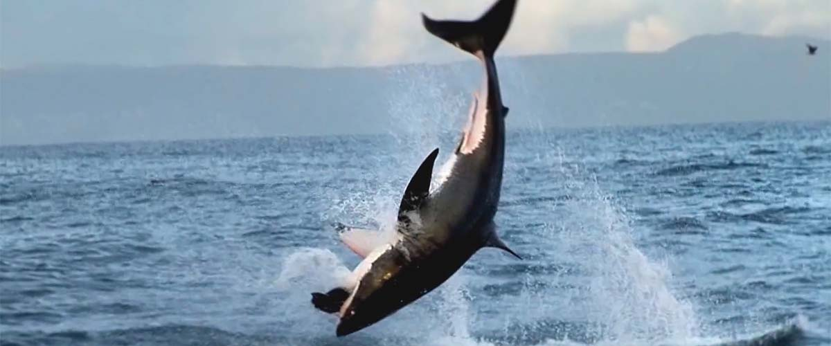 breaching great white shark - Ultimate Animals