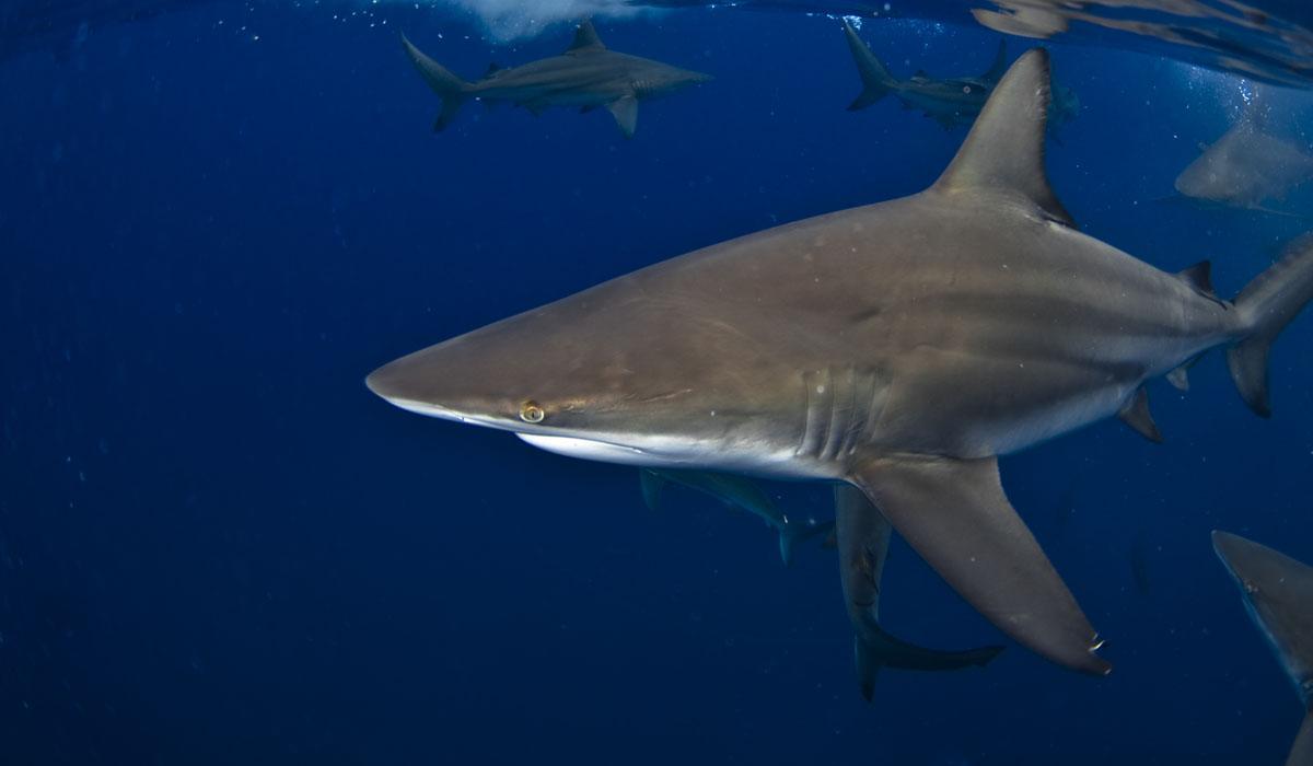 shark week durban