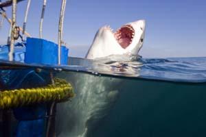 cape town shark diving trips