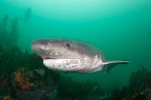 7 gill cow shark