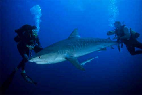 tiger shark african watersports