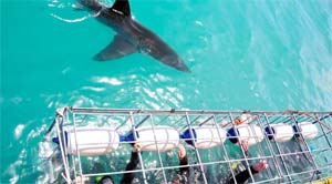 great white shark tours cage diving