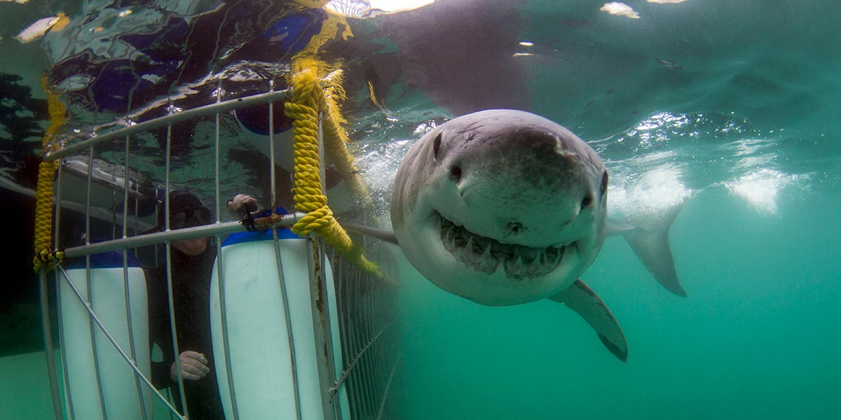 great white shark diving tours