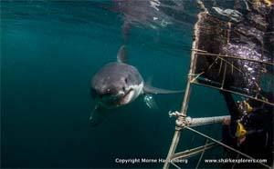 shark explorers cage