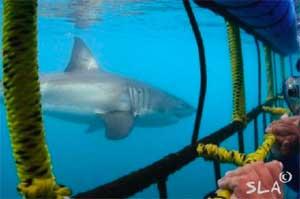 shark lady shark cage
