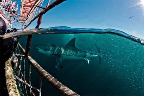 shark diving trip white shark ventures