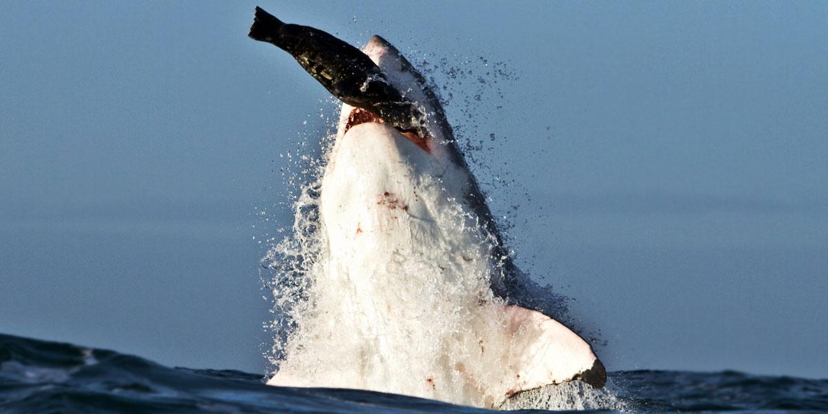 White Shark Breaching - Cape Town