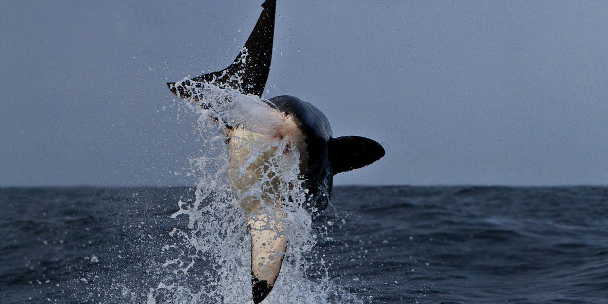 White Shark Breaching - Cape Town
