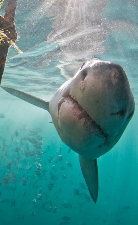 Gansbaai Shark Diving