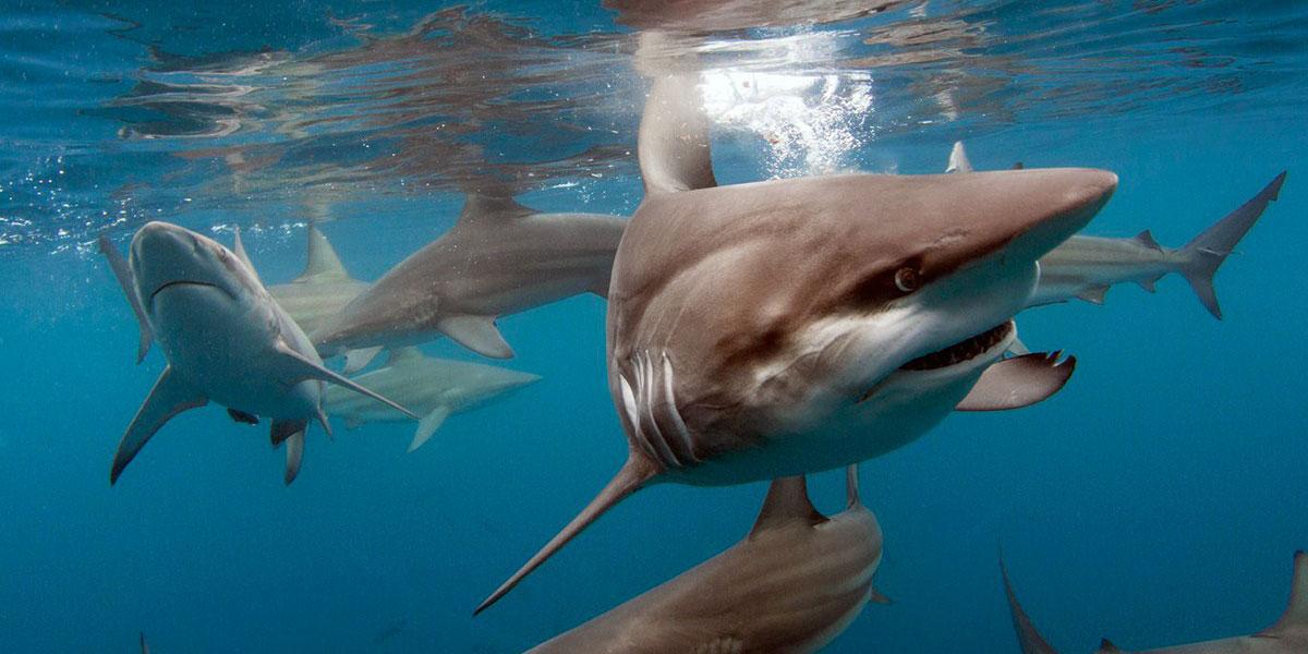 Shark Diving - Durban