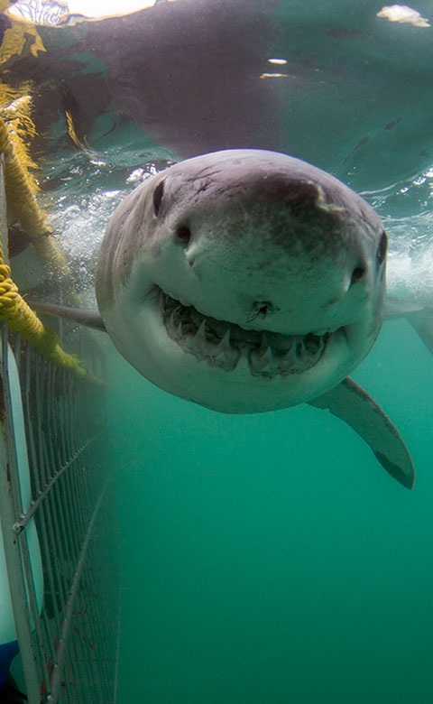 Great White Shark - Sharkbookings