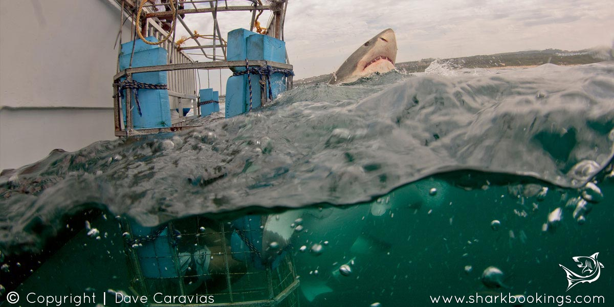 Shark Cage Diving - Mossel Bay
