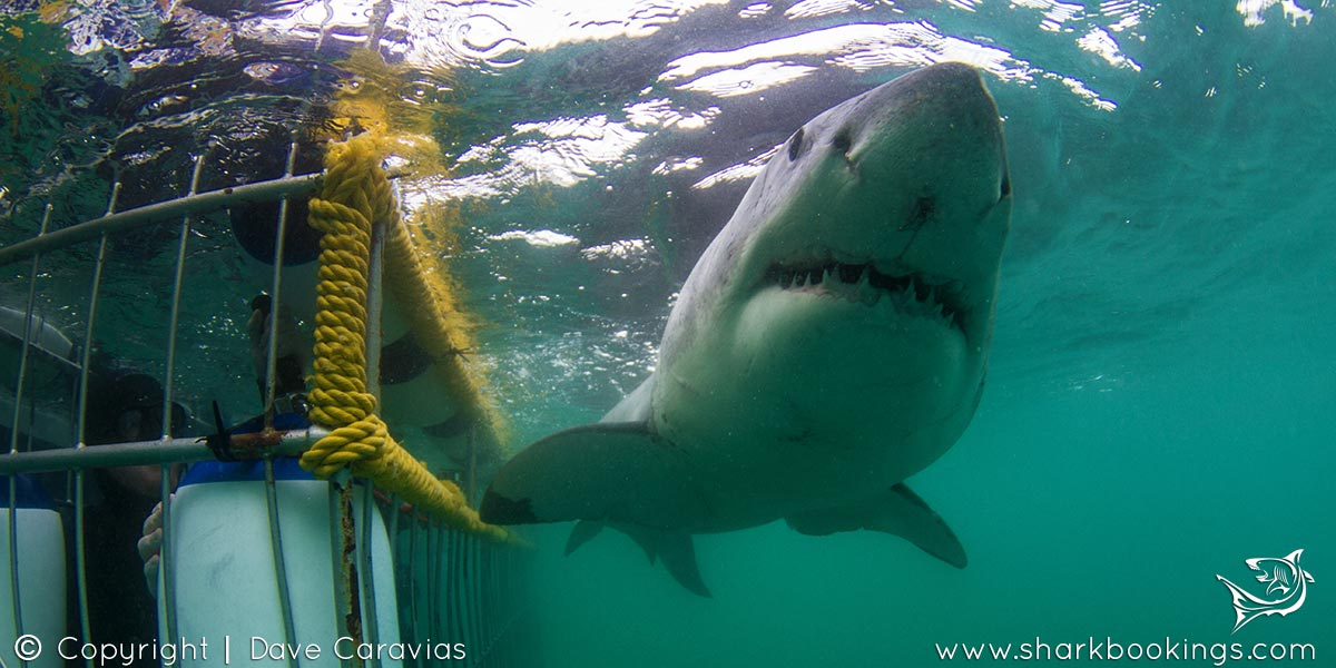 White Shark Cage Diving - Cape Town
