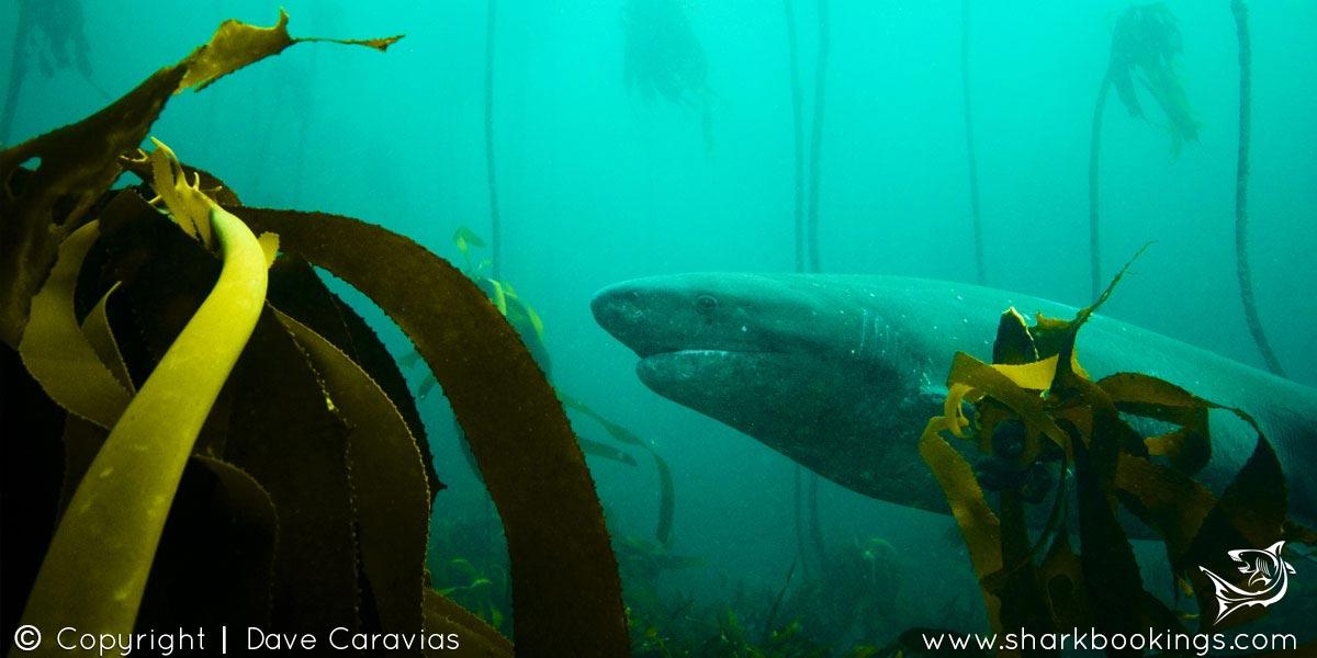 Seven Gill Cow Shark Dive - Cape Town