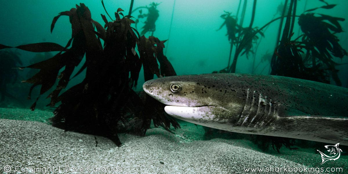 Seven Gill Cow Shark Dive - Cape Town
