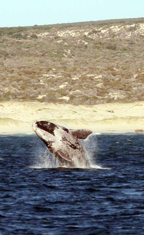 Whale Watching - Hermanus