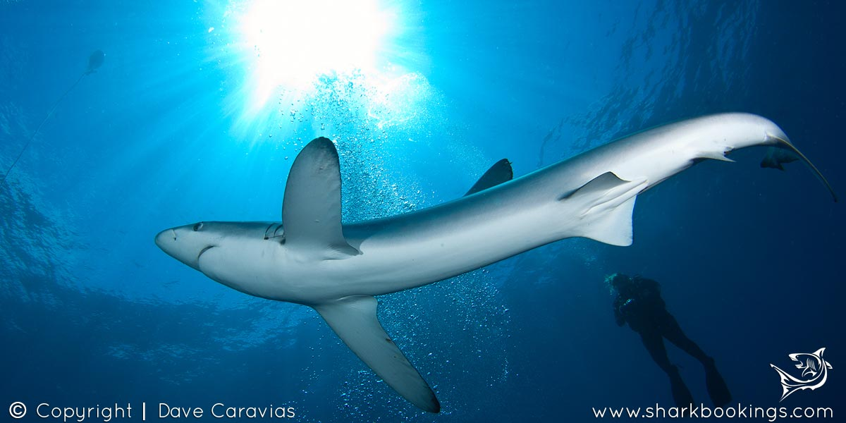 Blue & Mako Shark Diving - Cape Town