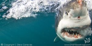 White Shark Cage Diving - Mossel Bay