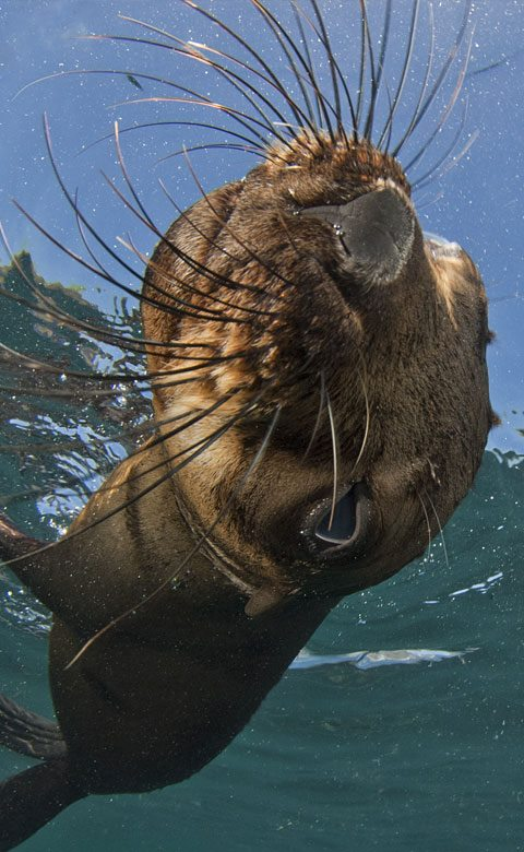 Seal Snorkling