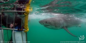 Shark Cage Diving - Cape Town