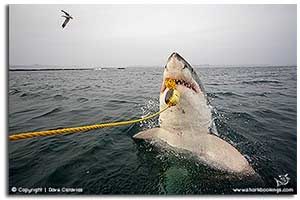 breaching great white sharks gallery