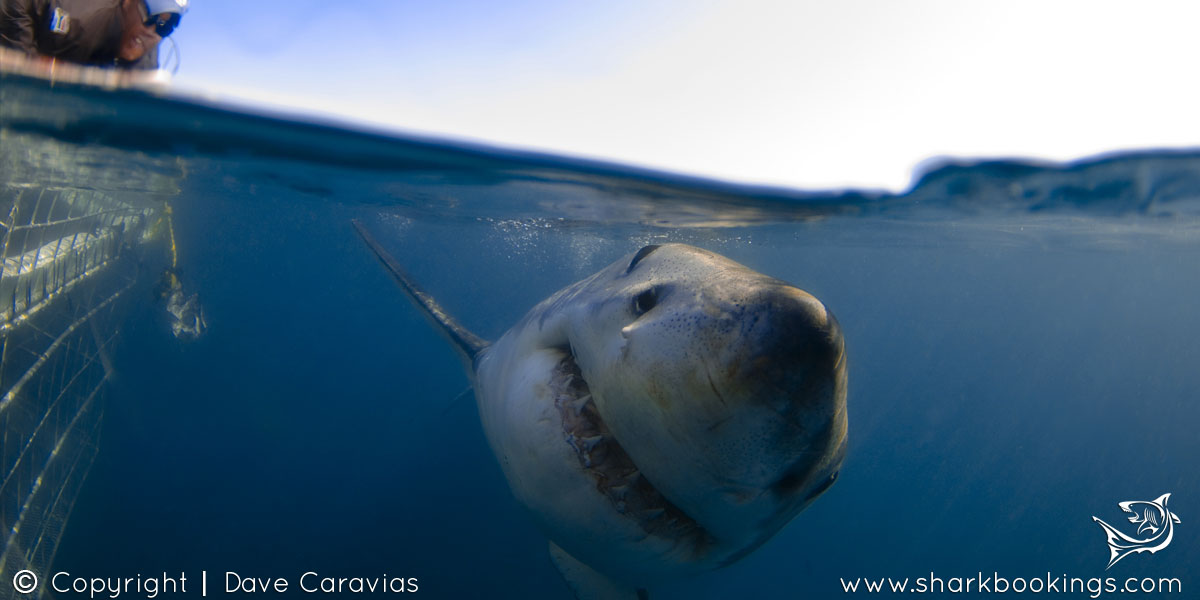 Great White Shark Cage Diving - Sharkbookings