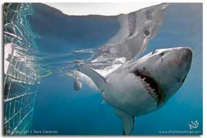 great white sharks gallery