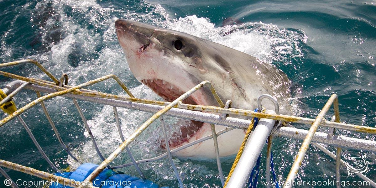 Shark Cage Diving - Gansbaai