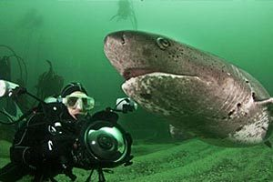 Seven Gill Cow Shark Dive