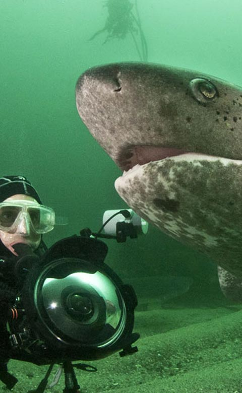 Seven Gill Cow Shark Diving