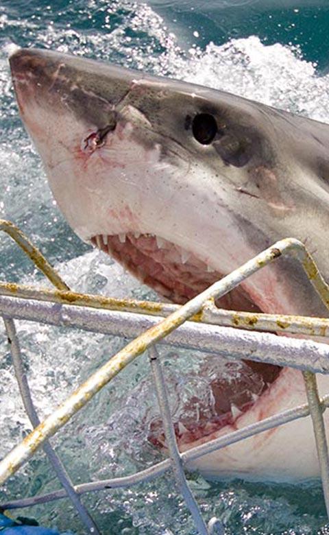 Shark Alley Diver