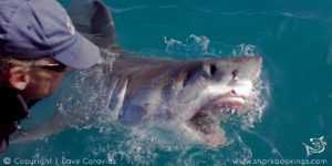 SharkDiving